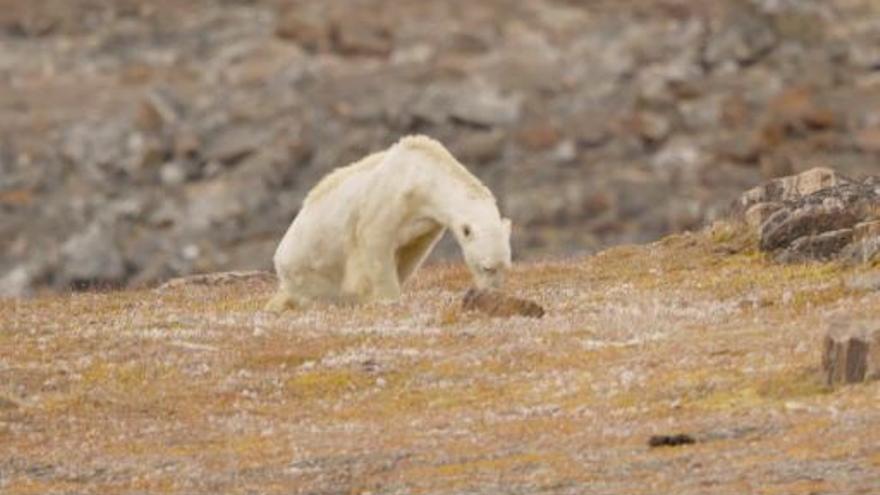 Captura del vídeo de un oso polar famélico en busca de comida.