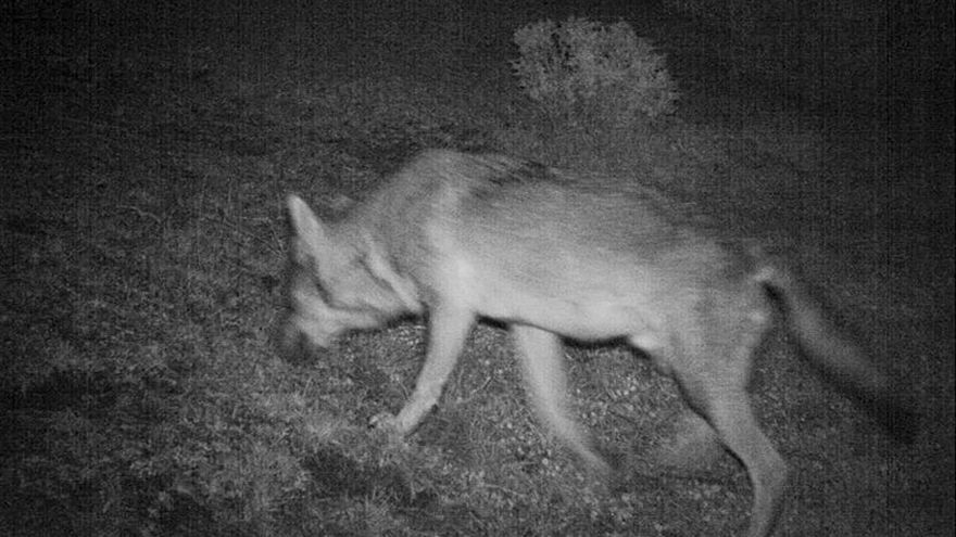 El lobo se ha detectado, sobre todo, en Los Monegros