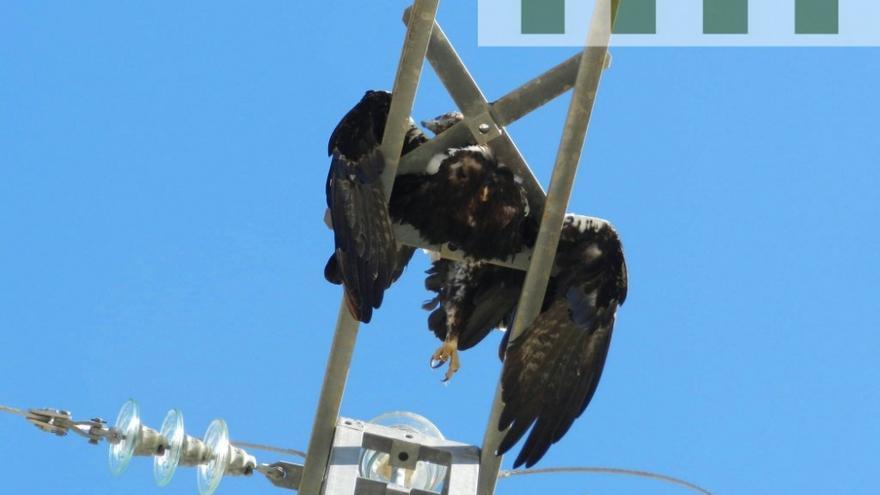 Águila imperial electrocutada en tendido eléctrico / Agentes medioambientales