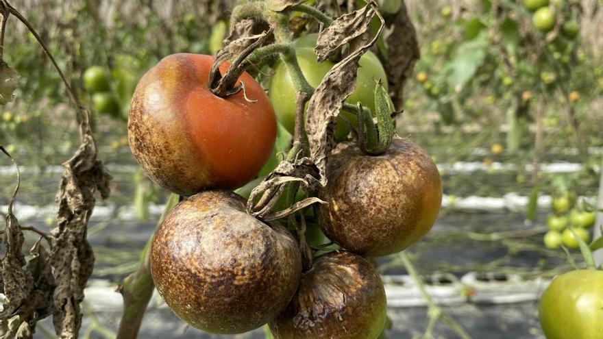 La 'mancha negra' condena al tomate canario