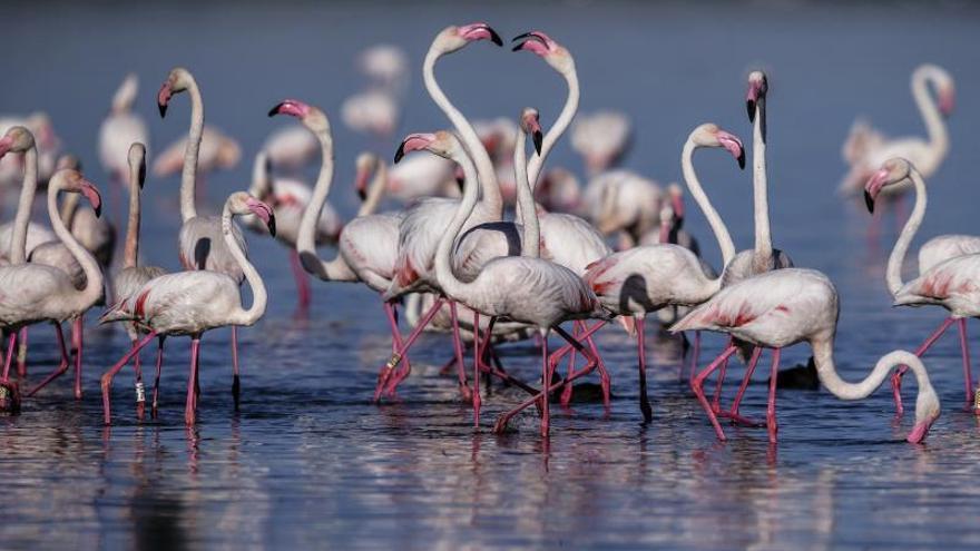 Nacen las primeras crías de flamenco rosa en la Laguna de Fuente de Piedra