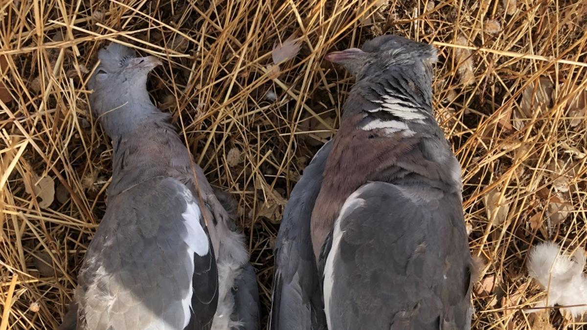 Imagen de dos ejemplares de paloma torcaz analizadas por el grupo de investigación.