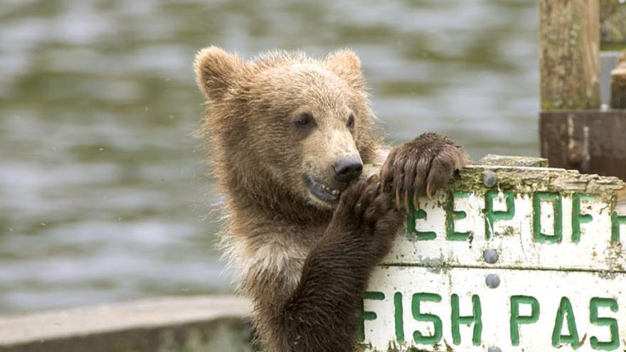 Un oso mordisquea un cartel en Frazer Lake. Los Osos Kodiak son tan grandes que rivalizan con sus primos polares. Alaska Region U.S. Fish & Wildlife Service