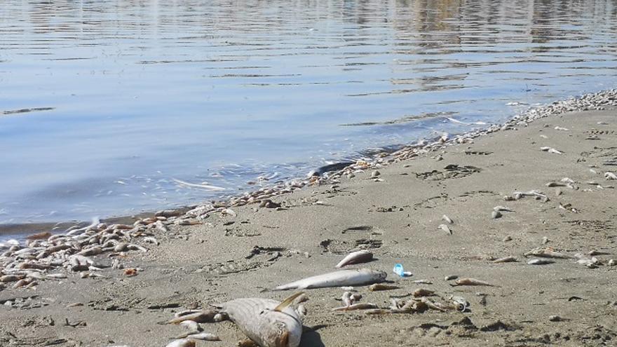 Peces muertos hallados en la costa de San Pedro del Pinatar el fin de semana  (Murcia)