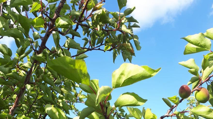Los albaricoques de la provincia de Huesca son uno de los cultivos beneficiados por la reducción de módulos del IRPF.