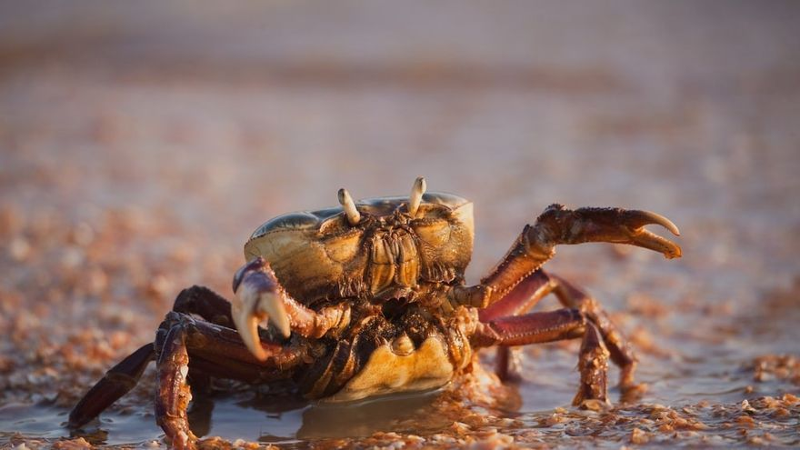 La ciencia indica que los cangrejos también son seres sintientes