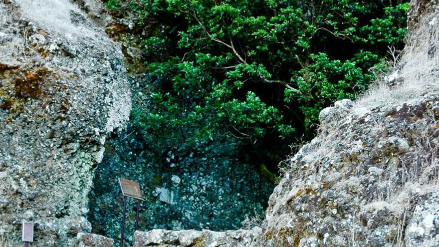 El Garoé, el árbol cisterna de los antiguos pobladores de El Hierro. VIAJAR AHORA